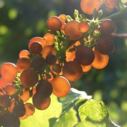 Grauburgunder (Pinot Gris) - Styksalg 6-24 stk
