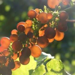 Grauburgunder (Pinot Gris) - Styksalg 1-5 stk